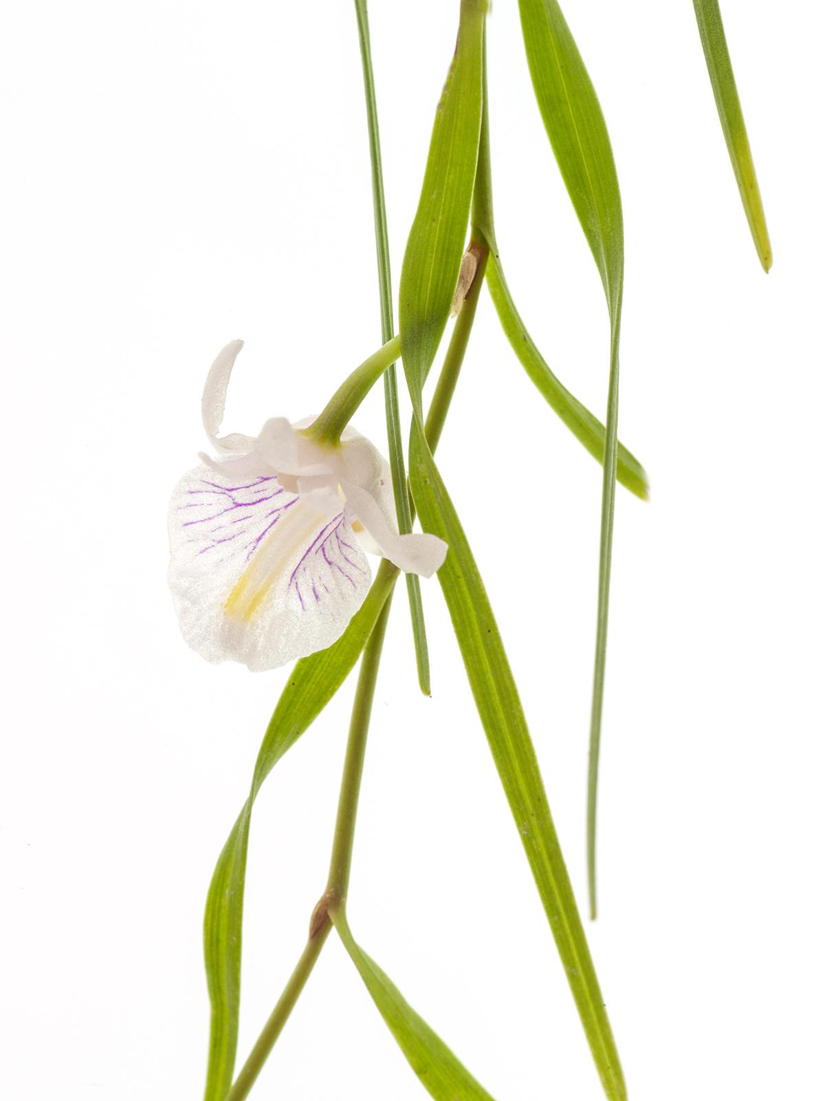 Dendrobium tenellum(aufgebunden)