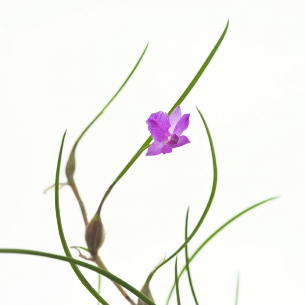 Isabelia pulchella(aufgebunden)