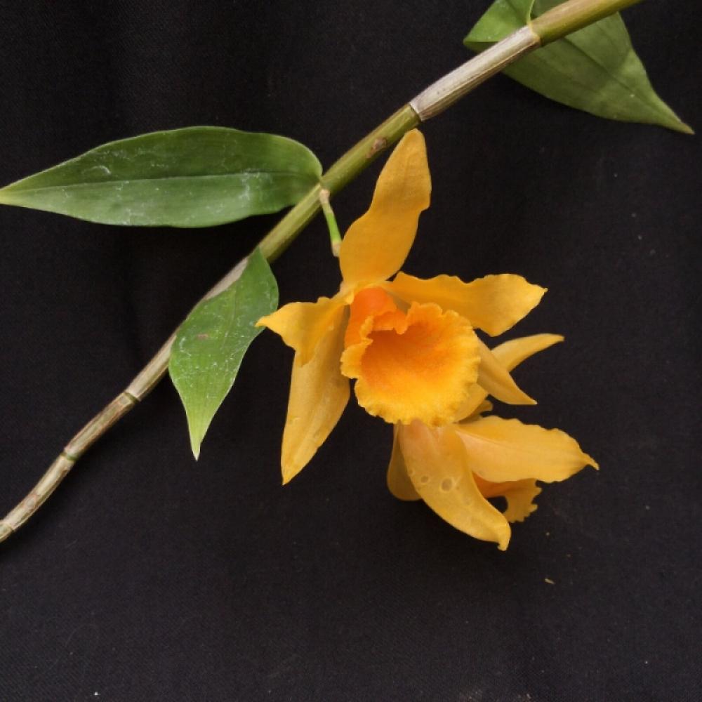Dendrobium henryi(aufgebunden)