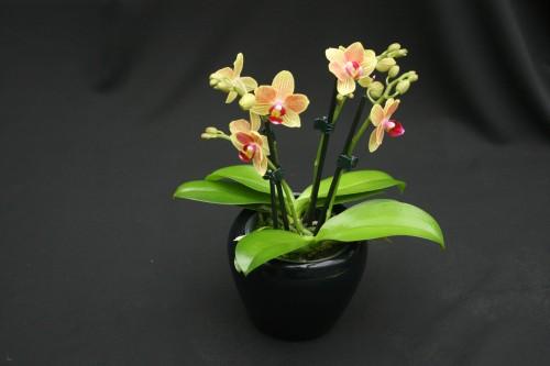 Orchideen-Clipse 12 Stück