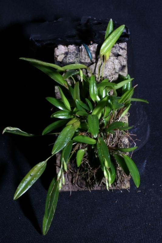Pleurothallis pruinosa (aufgebunden)