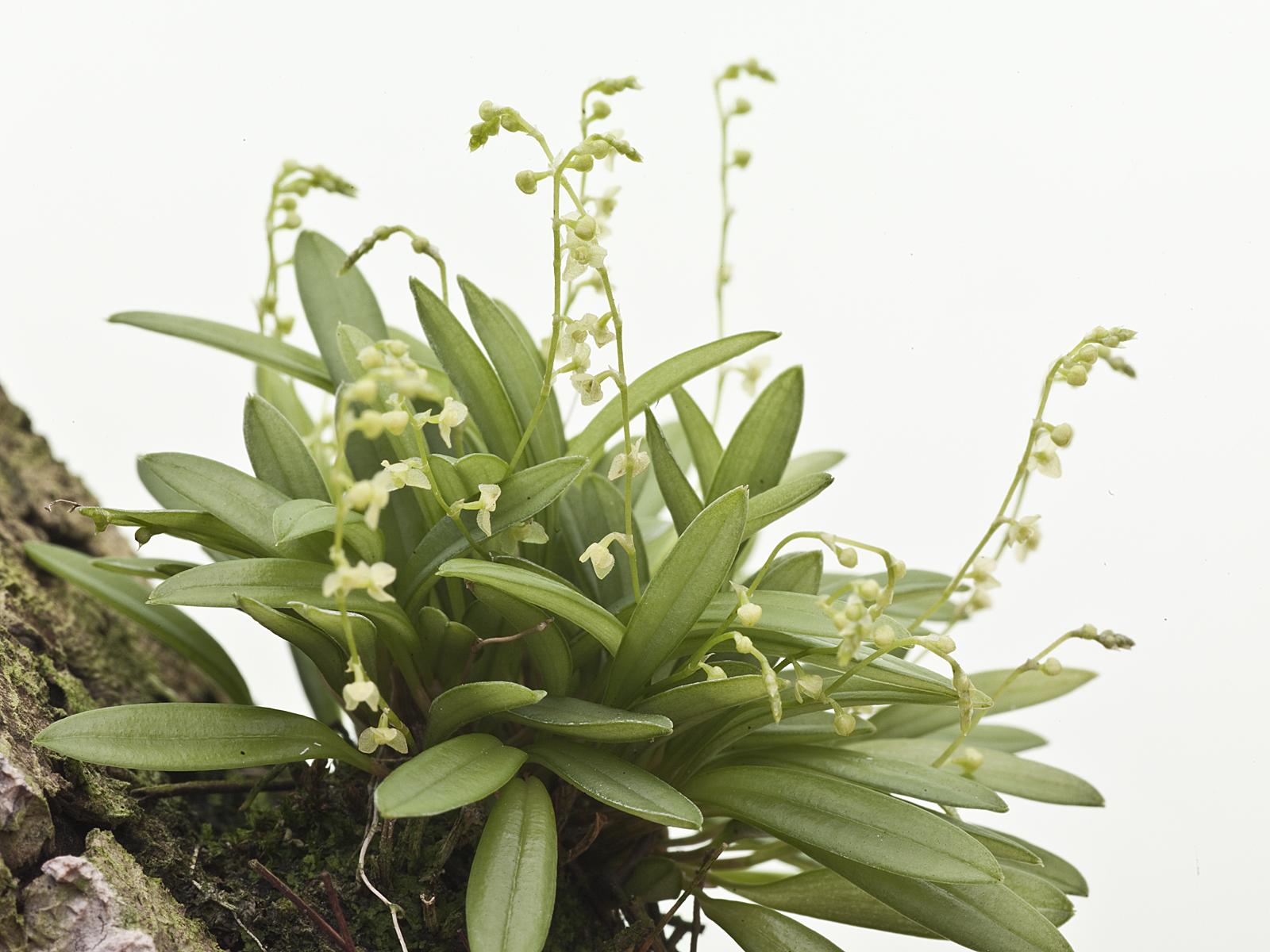 Stelis guianensis(aufgebunden)