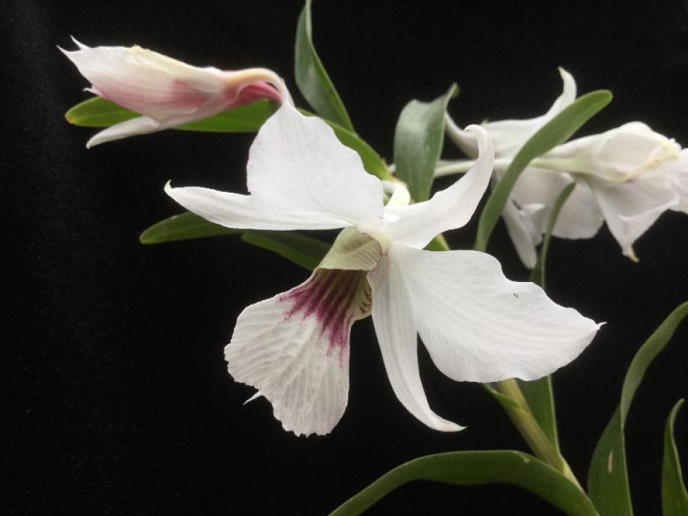 Dendrobium sanderae v. surigaense