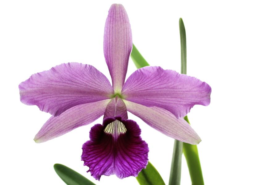 Laelia tenebrosa x Laelia purpurata sanquinea