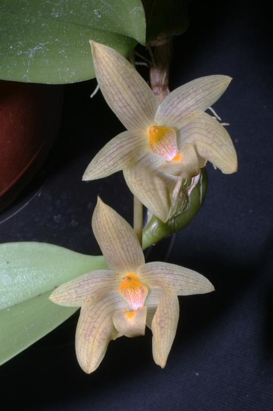 Bulbophyllum sinensis