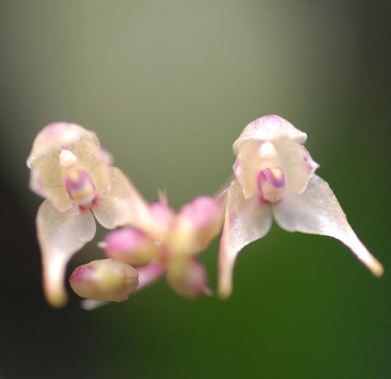 Bulbophyllum levinei