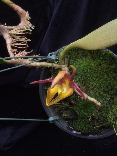 Bulbophyllum cheiri