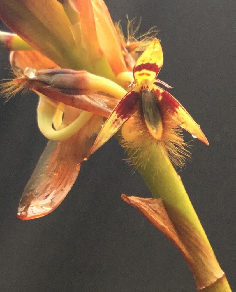 Bulbophyllum schisanthum