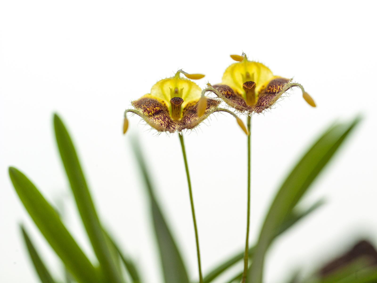 Diodonopsis erinacea(aufgebunden)