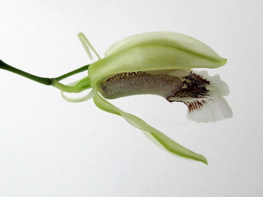 Coelogyne speciosa green