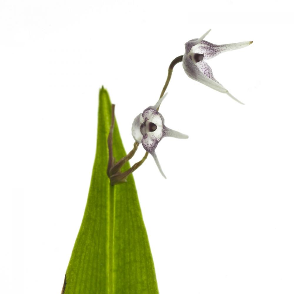 Pleurothallis scoparum (aufgebunden)