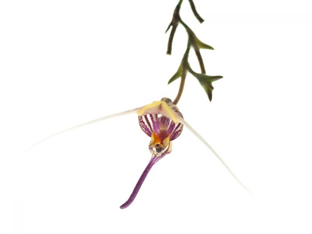 Scaphosepalum martineae