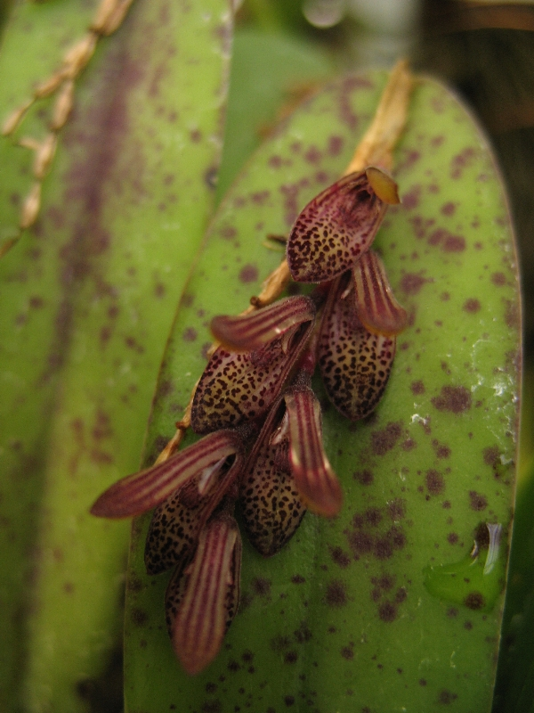 Pleurothallis smithiana (aufgebunden)