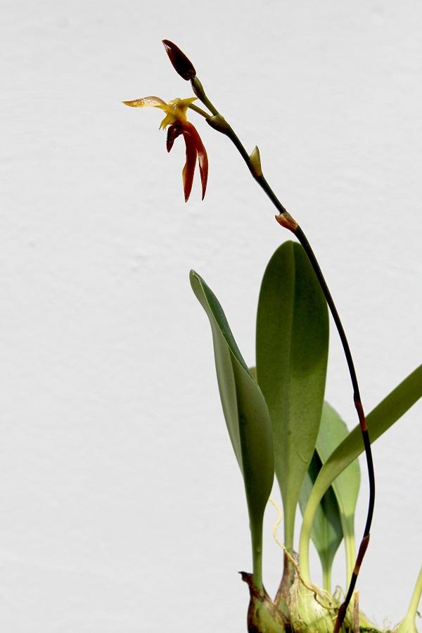 Bulbophyllum basisetum