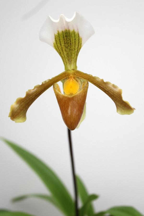 Paphiopedilum areeanum