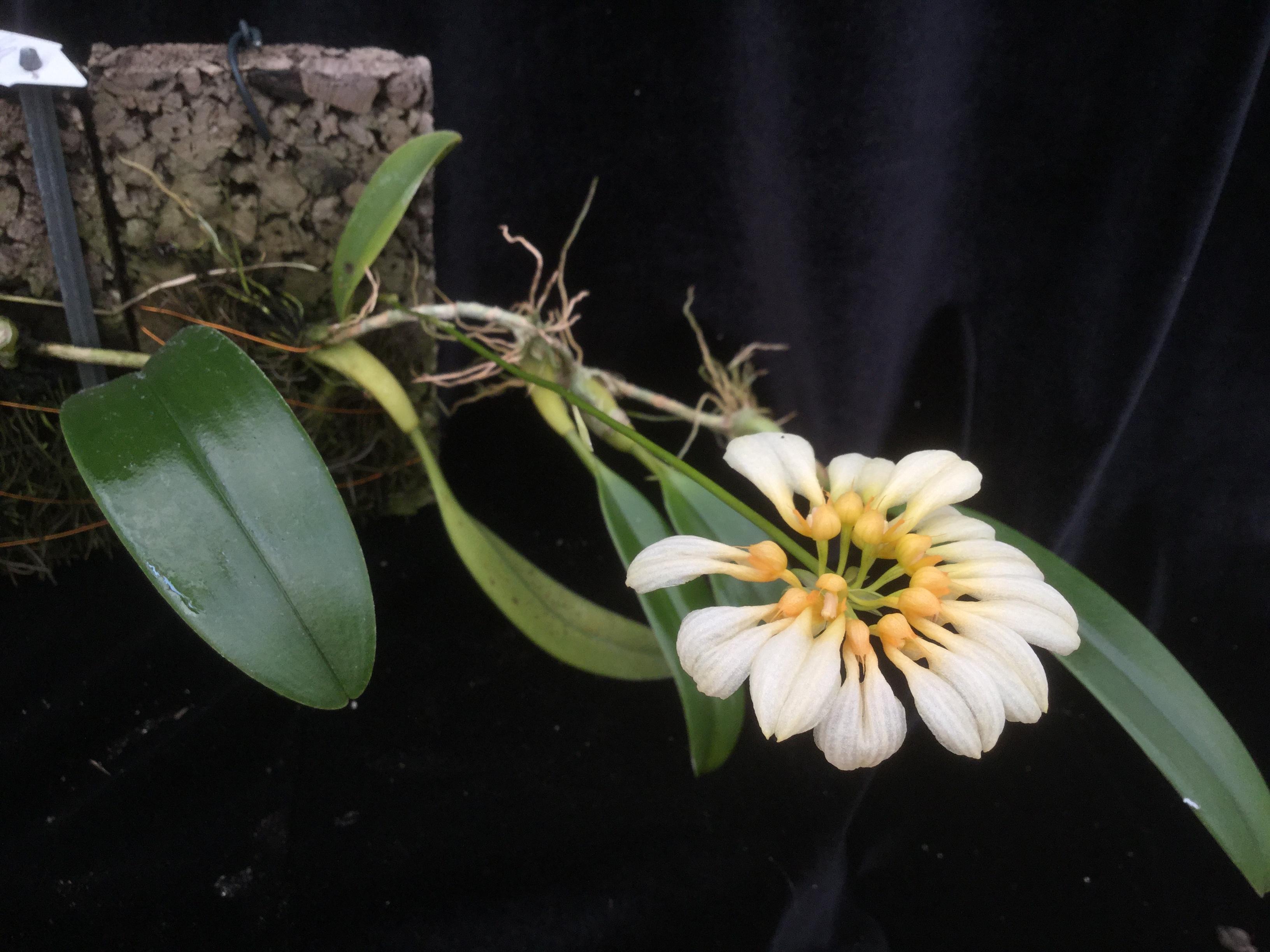 Bulbophyllum andersonii alba