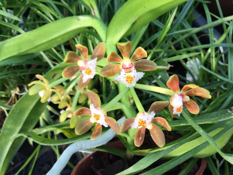 Gastrochilus acutifolius(Ampel)