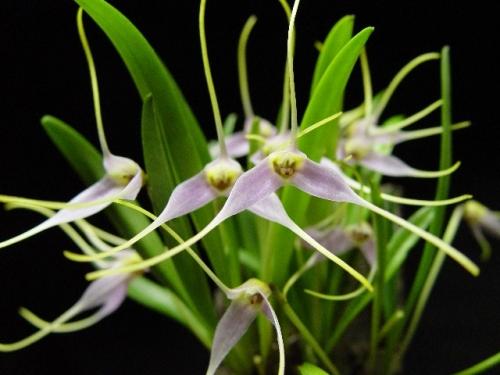 Masdevallia lilacina(aufgebunden)