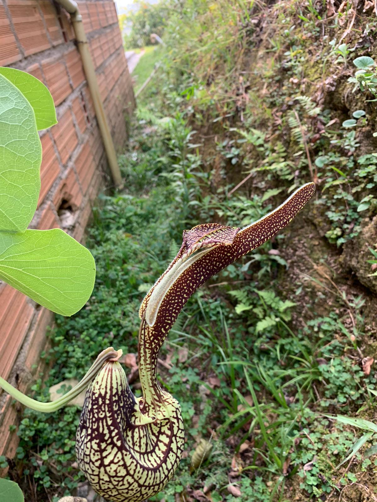 Aristolochia rigens (Vogelschnabelblume, Pfeifenwinde)