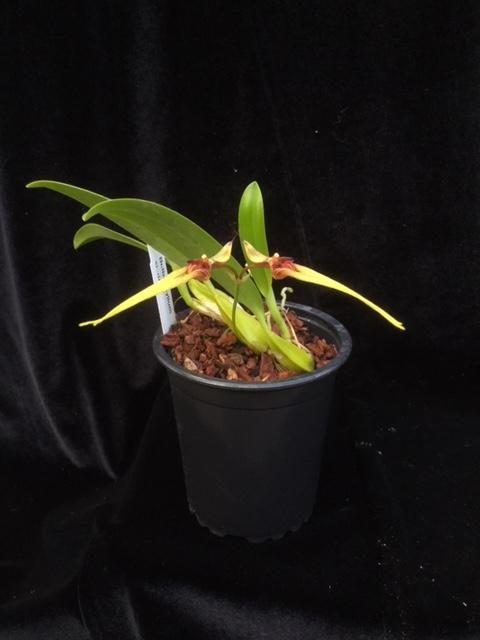 Bulbophyllum biflorum gelb