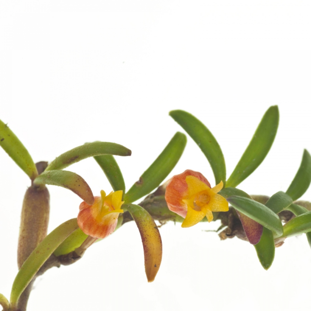 Mediocalcar decoratum variegatum