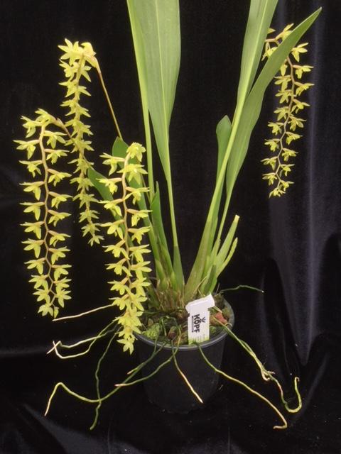 Dendrochilum pangasinanense