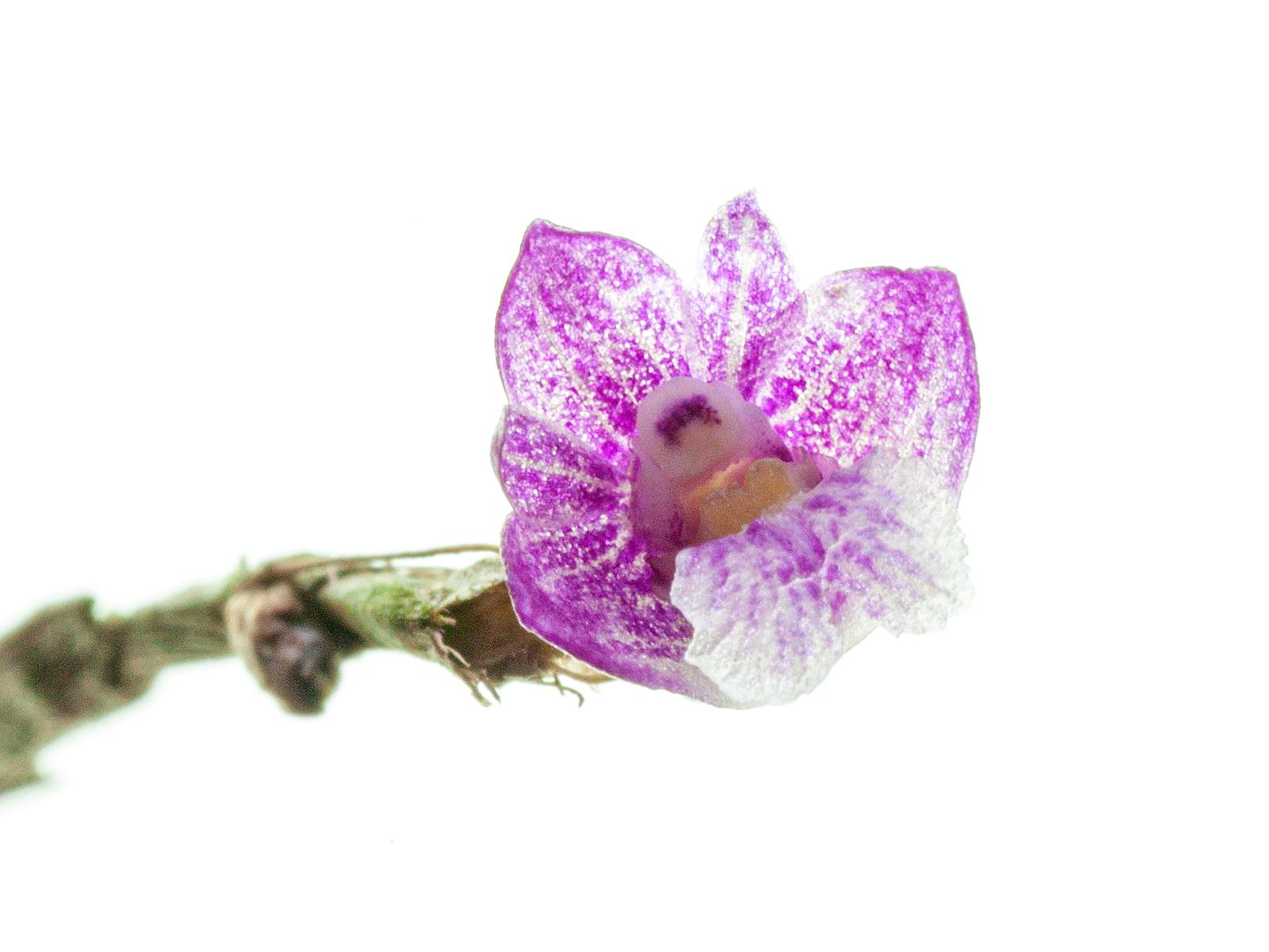 Dendrobium lobulatum(aufgebunden)