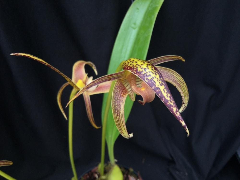 Bulbophyllum lobbii Giant