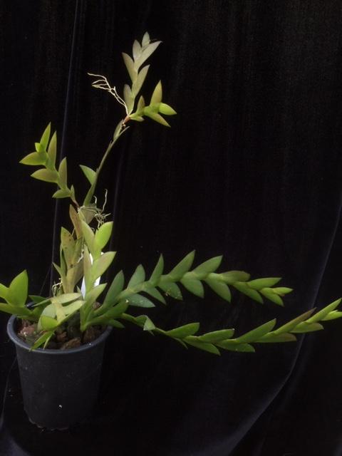 Dendrobium mannii