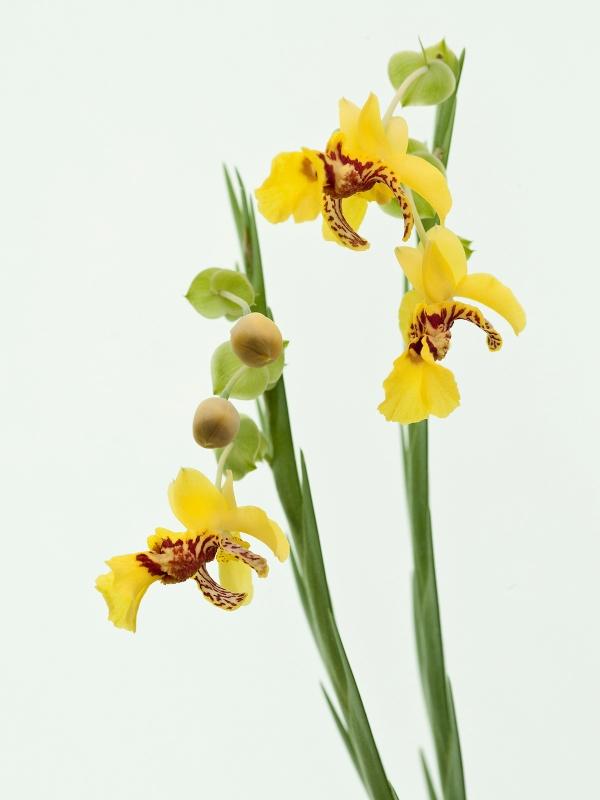 Lockhartia longifolia(aufgebunden)