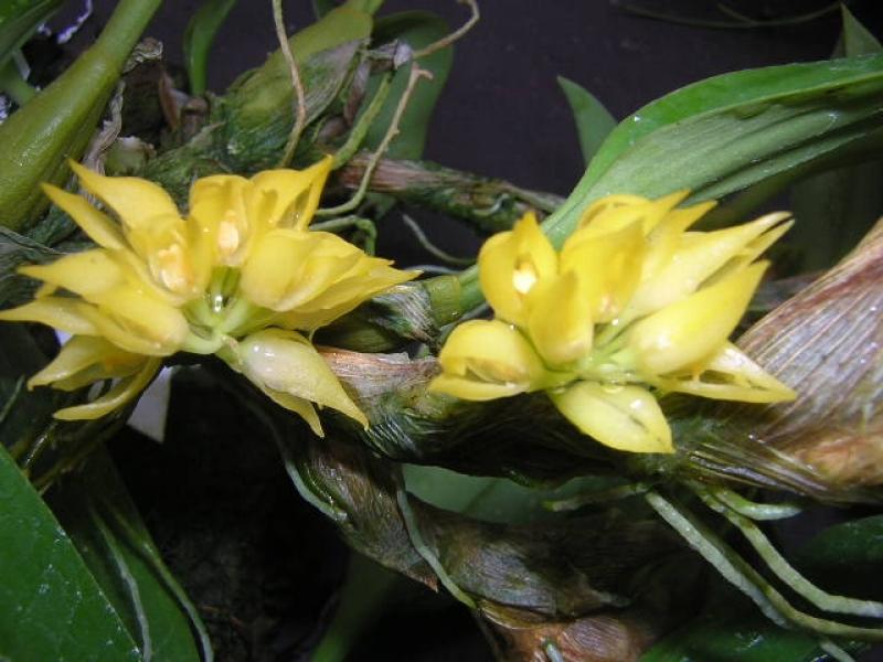 Bulbophyllum flavidiflorum Borneo