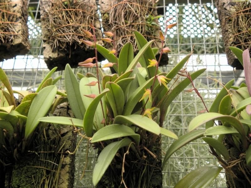 Pleurothallis species   Machu Picchu