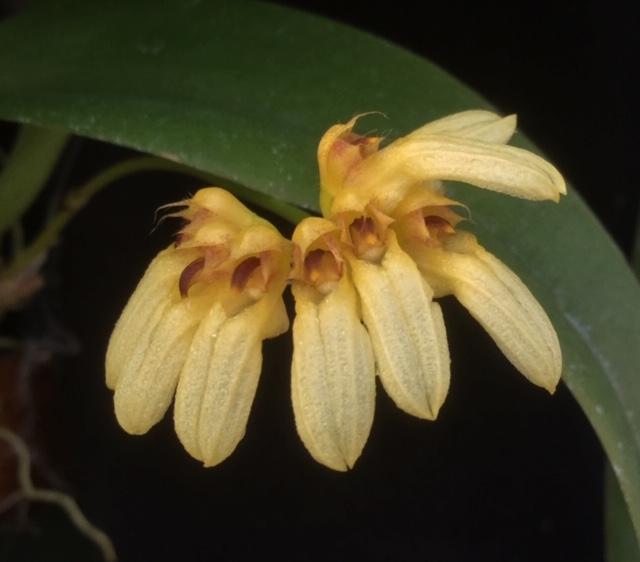 Bulbophyllum corolliferum f. flavum