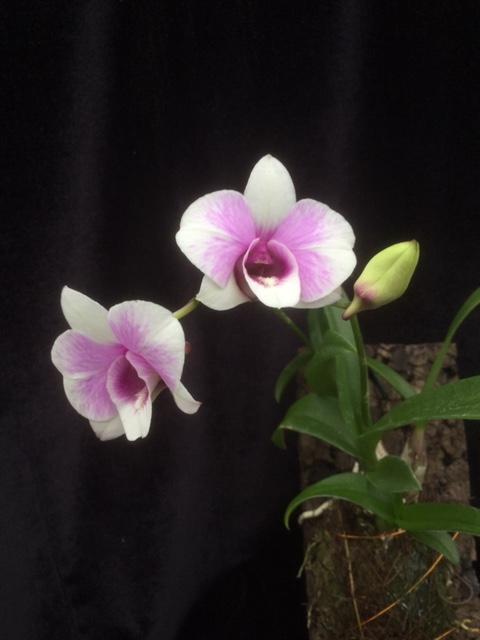 Dendrobium Jairak weiss geflammt(aufgebunden)