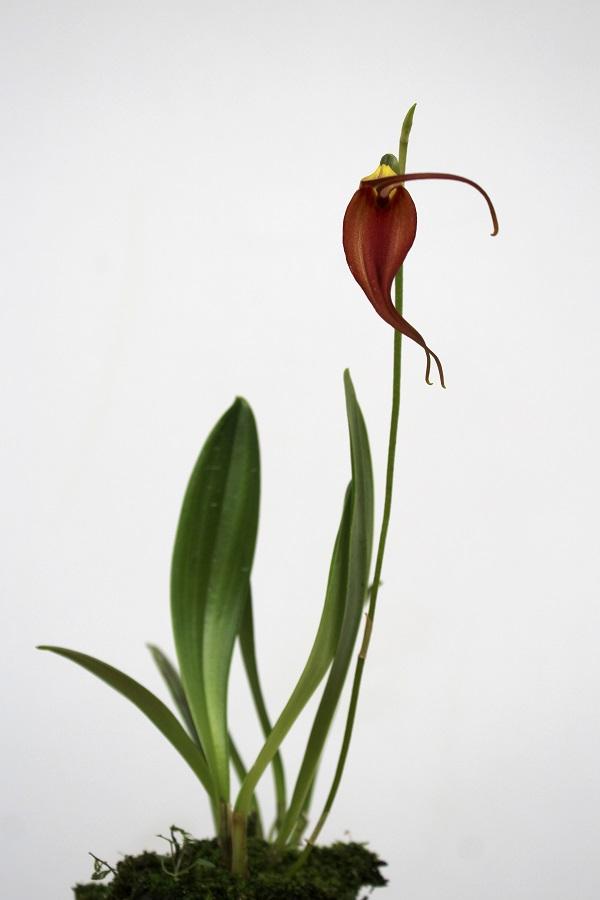 Masdevallia melanoxantha