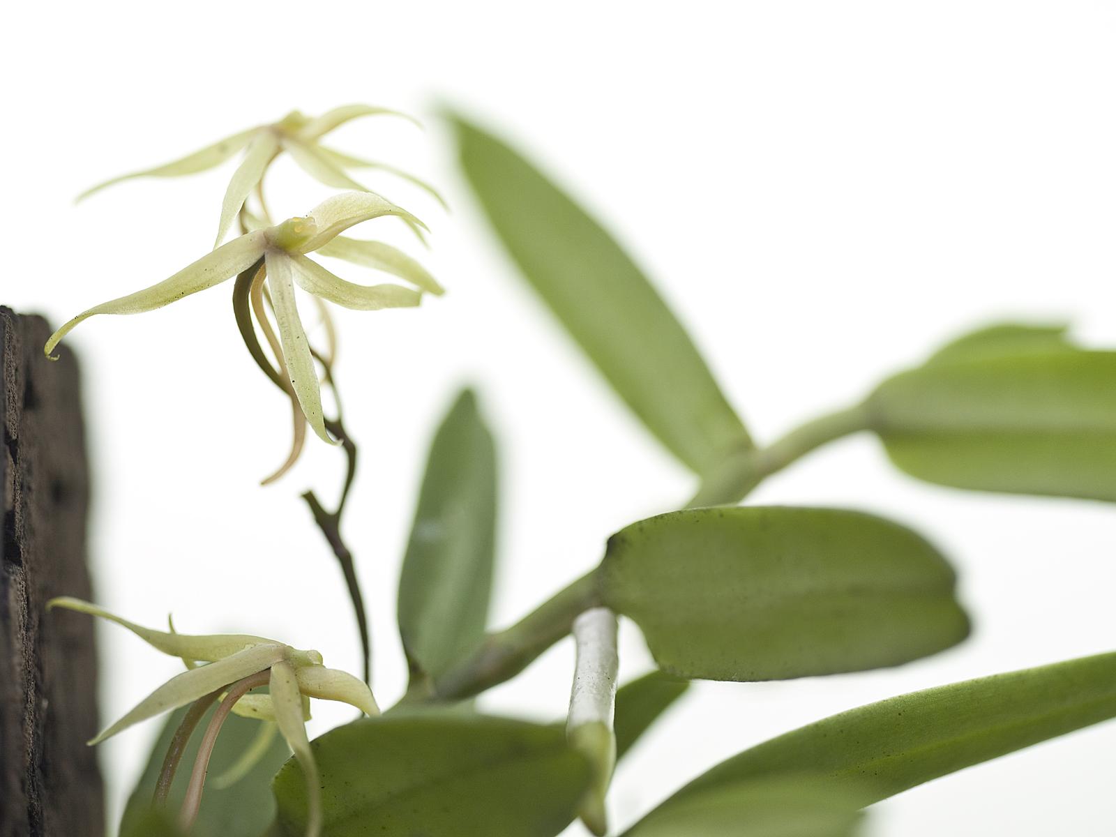 Angraecum moandense(aufgebunden)